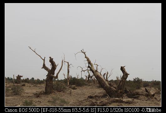 這就是一千年不枯的胡楊木