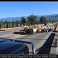 好大一群羊過馬路1