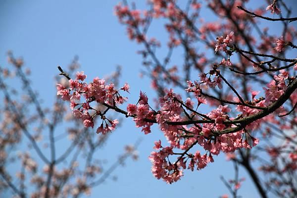 0228 粉紅色櫻花 5
