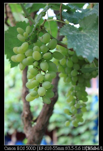都是綠色的葡萄