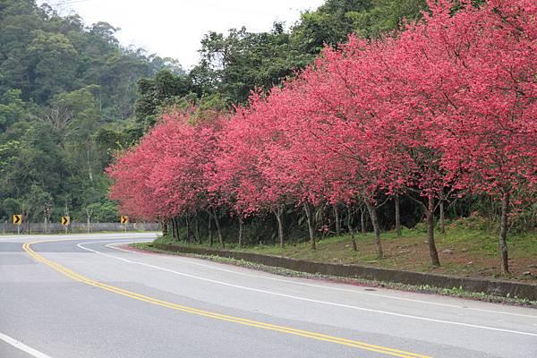 0223一片火紅的山櫻花