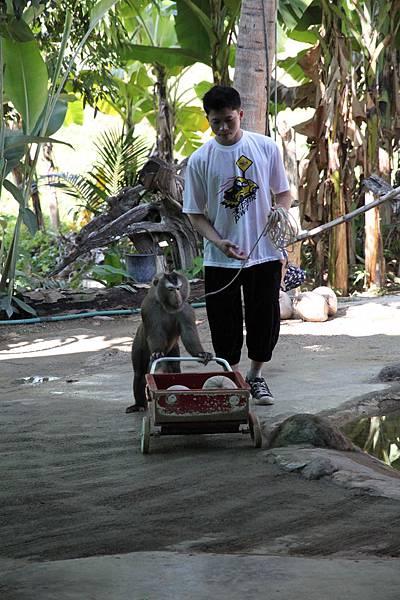 猴子推車賣椰子