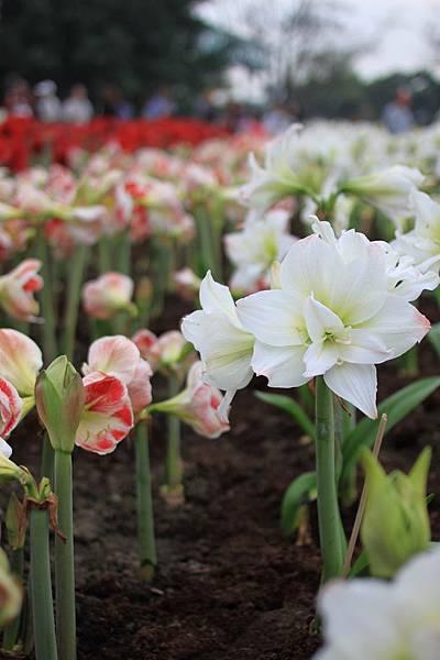 0306很喜歡白色的百合花