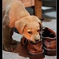 超愛亂咬鞋子