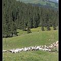 有好多好多羊2
