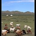 路邊有好多羊咩咩  遠處還有氈房