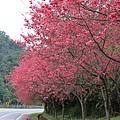 0223茂盛的山櫻花
