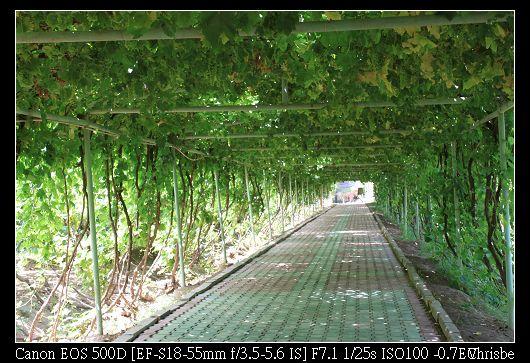 非常整齊的葡萄長廊