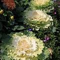 0228奇妙的高麗菜花