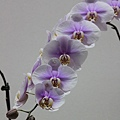 0306淡紫色蘭花再來一張