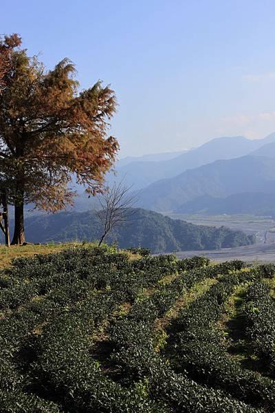 1229玉蘭茶園 3