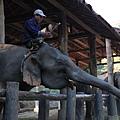 象師就是像這樣坐在象頭上