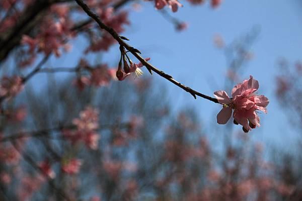 0228 粉紅色櫻花3