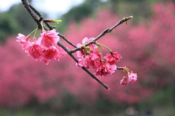 0223近拍山櫻花2