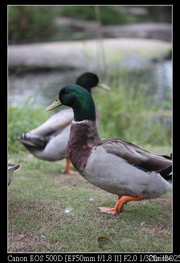 1124 可愛的小鴨子3
