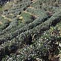 1229玉蘭茶園 1