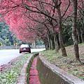 0223水溝裡都是落下的櫻花瓣