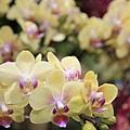 0306黃色的蘭花也好漂亮