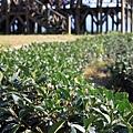 1229玉蘭茶園 5