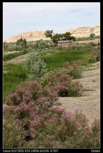 在沙漠中生長的紅柳