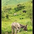連吃草的驢子都美得像一幅畫