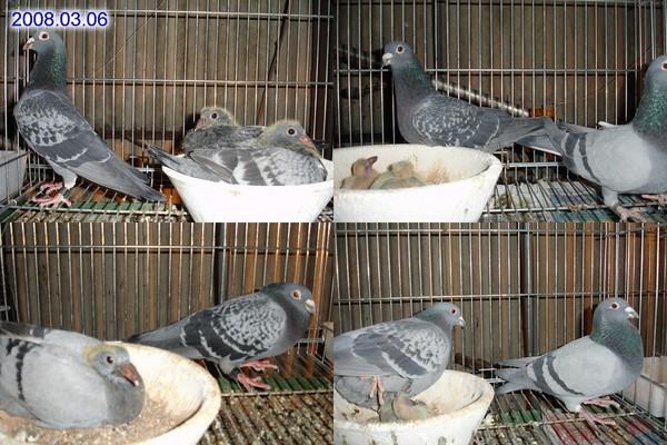 鴿子02.jpg
