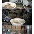 鴿子03.jpg