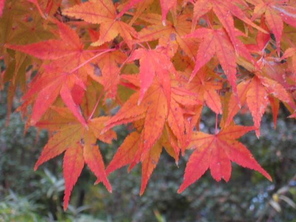 2008.11.27 京都--宇治--平等院 (11).JPG
