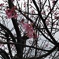 99.02.20 陽明山春賞櫻(10).JPG