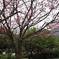 99.02.20 陽明山春賞櫻(13).JPG