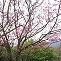 99.02.20 陽明山春賞櫻(14).JPG