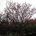 99.02.20 陽明山春賞櫻(23).JPG