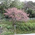 99.02.20 陽明山春賞櫻(25).JPG