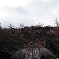 99.02.20 陽明山春賞櫻(34).JPG