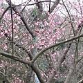 99.02.20 陽明山春賞櫻(39).JPG