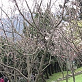 99.02.20 陽明山春賞櫻(48).JPG