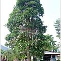 221_0008梅子工廠的夢想之樹 .JPG