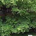 三義-綠葉方舟6