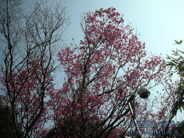 9901-22 陽明山花季_0003.jpg
