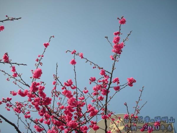 9901-22 陽明山花季_0013.jpg