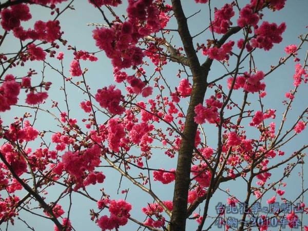 9901-22 陽明山花季_0018.jpg