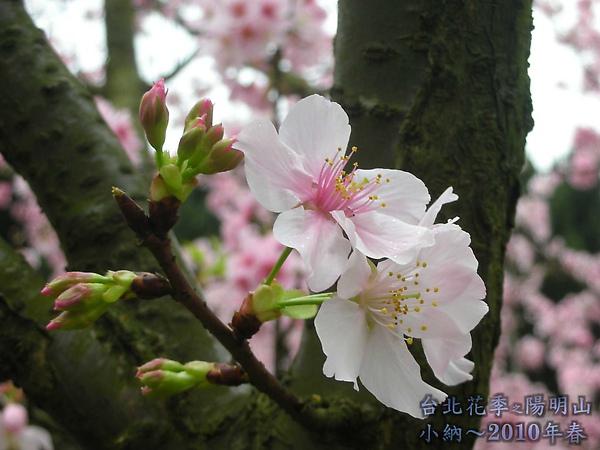 9902-17 陽明山花季 2_0013.jpg