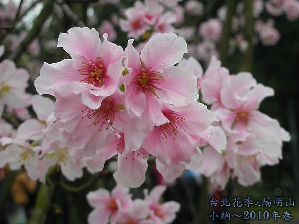 9902-17 陽明山花季 2_0015.jpg
