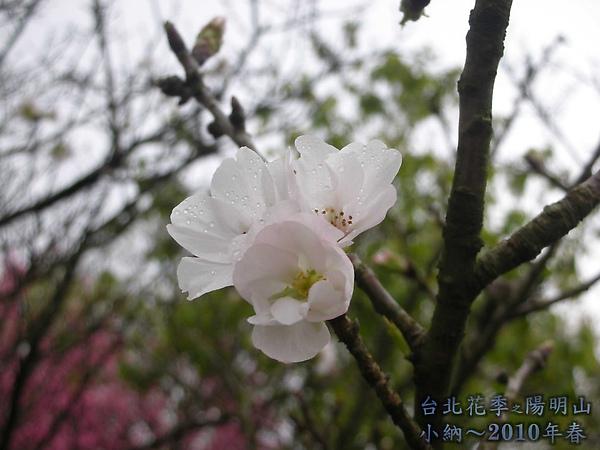 9902-17 陽明山花季 2_0061.jpg