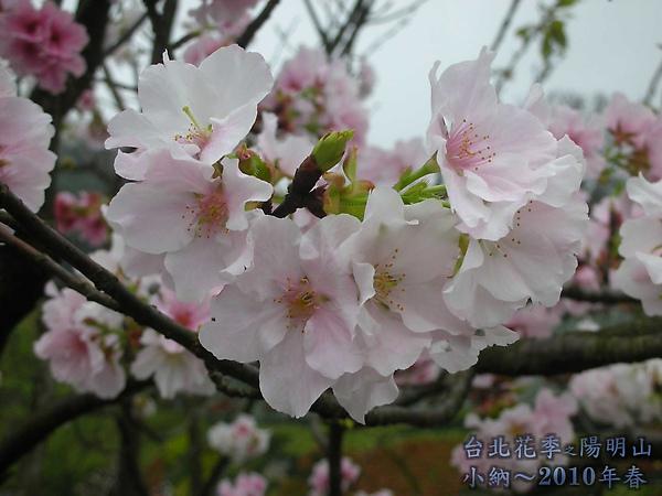 9902-17 陽明山花季 2_0095.jpg