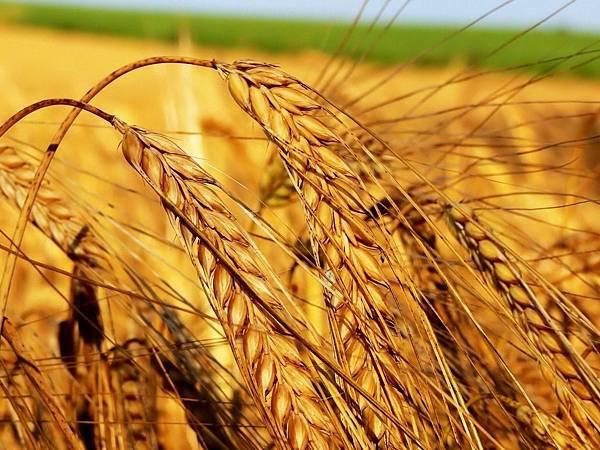 field_ears_agriculture_crop_grain_42484_1152x864.jpg