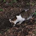 哲學之道上散步的貓