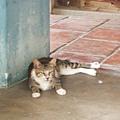 觀音亭內悠閒的貓1