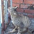 大溪后尾巷的貓