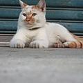 龍潭佳安村 的貓兄弟
